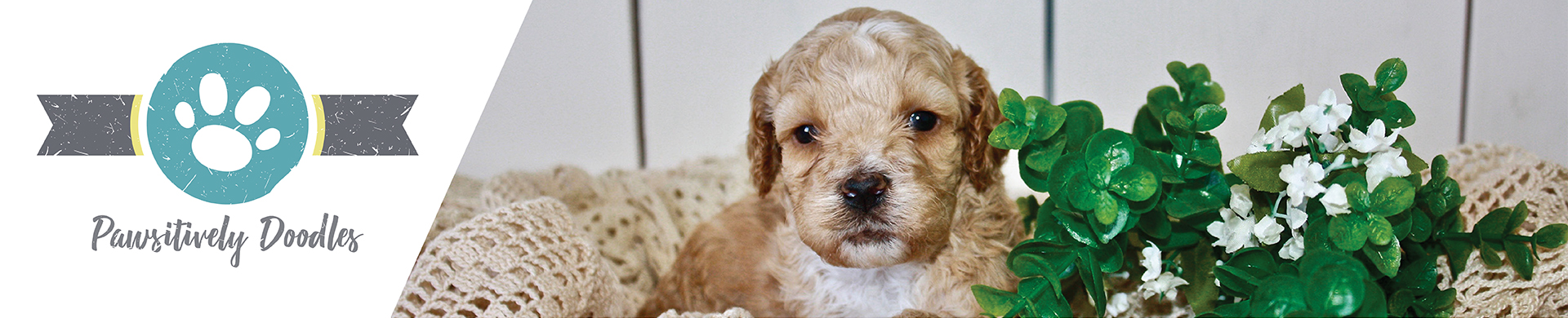 Alberta Puppies For Sale Pawsitivelydoodles