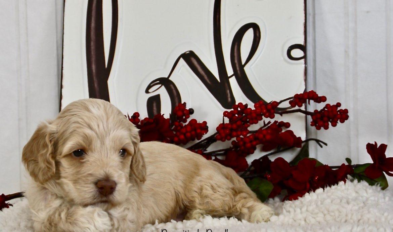 Cookies Puppies Week 4 Pictures Ft Valentines