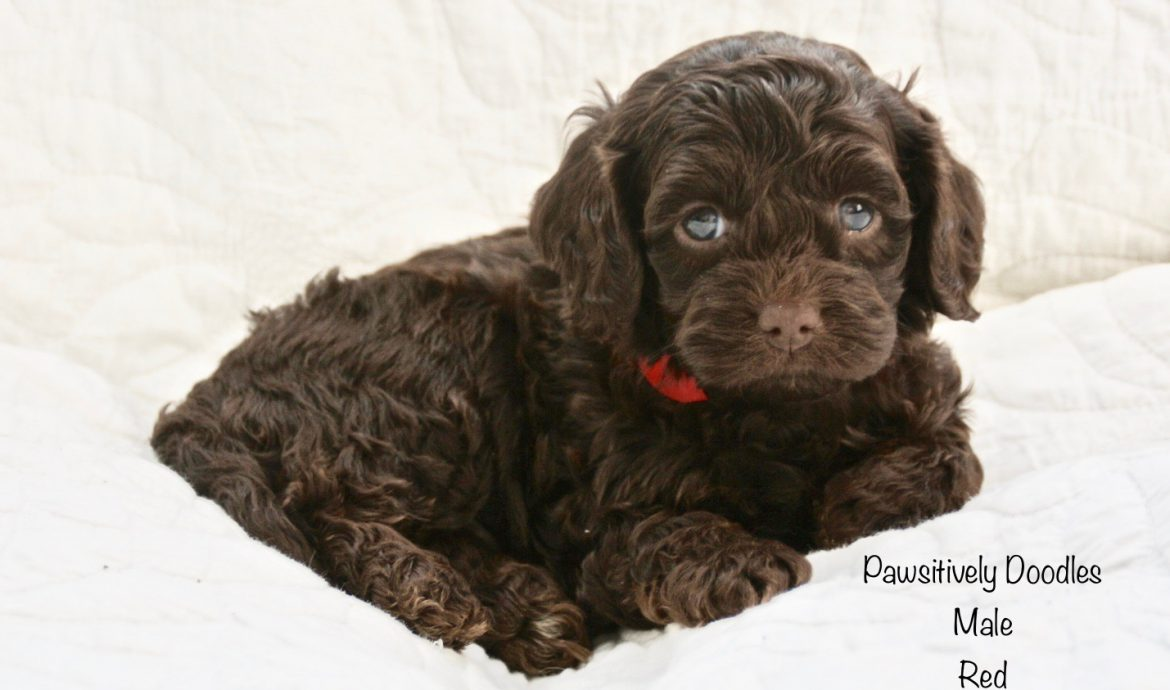 Indys Puppies 5 Week Pictures Pawsitivelydoodles